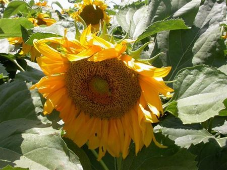 תמונה עבור הקטגוריה צמחים עונתיים לקיץ