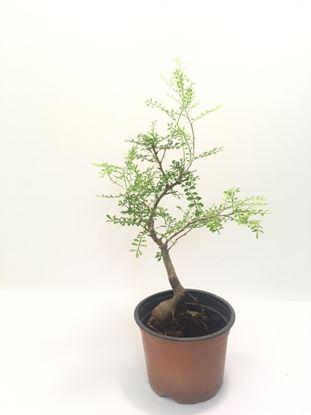 תמונה של עץ בונזאי