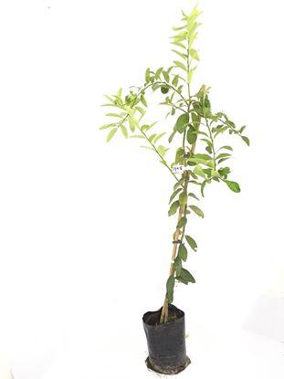 תמונה של עץ לימון