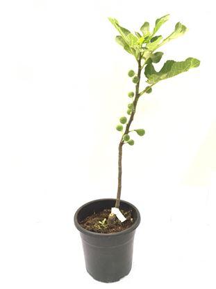 תמונה של עץ תאנה