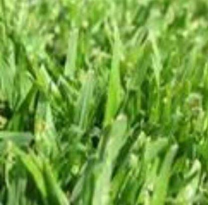 "Picture of דשא דרבן (מחיר למ""ר)"