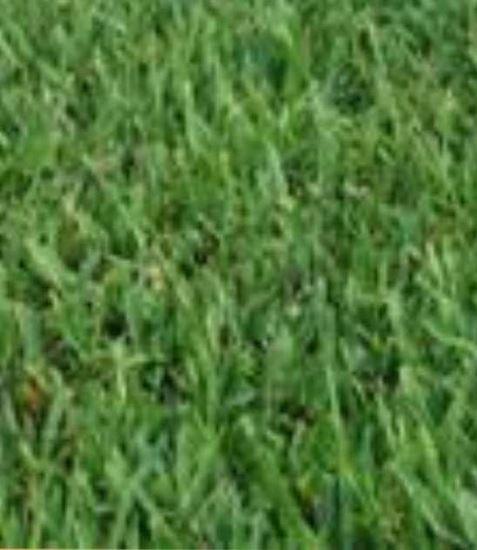 """תמונה של דשא בופולו (מחיר למ""""ר)"""