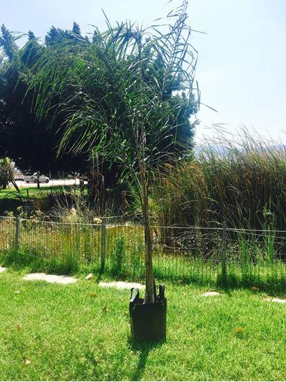 תמונה של דקל טבעות גדול
