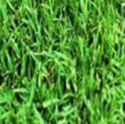 "Picture of דשא פספולום (מחיר  למ""ר)"