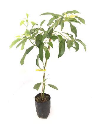 תמונה של עץ אבוקדו אורית
