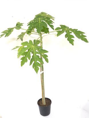 תמונה של עץ פאפיה