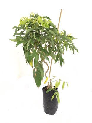 תמונה של עץ ליצ'י