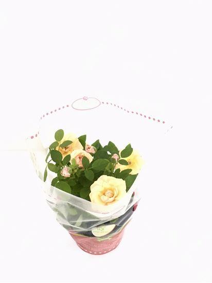 תמונה של ורד ענבר